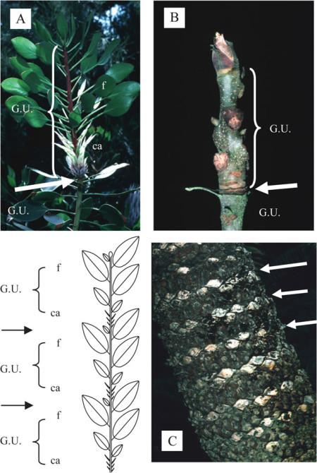 Figura 4. Marcadores morfológicos de la extensión rítmica. Las fases de cese de crecimiento (flechas) y la delimitación de las sucesivas unidades de crecimiento (G.U.) como se revela a posteriori por una alternancia de catáfilas (ca) y hojas fotosintéticas (f) en Protea cynaroïdes (A) o sus cicatrices (Carya laciniosa, B, o Cicas pectinada, C).