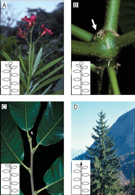 """Figura 2. El crecimiento determinado corresponde a una transformación irreversible del meristemo apical, que puede ser debida a (A) la floración apical como en Nerium oleander, (B) parenquimatización (flecha) del meristemo apical como en Alstonia sp. o (C) muerte apical o abscisión (""""X"""") como en Castanea sativa. El crecimiento indeterminado corresponde al funcionamiento permanente del meristemo apical, como se ilustra con el tallo principal de Picea excelsa (D)."""
