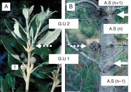 """La extensión del tallo puede producirse más de una vez durante el mismo año natural. El conjunto de las unidades de crecimiento producidas en un año se denominan brote anual (A.S.). En Quercus ilex (A) o Pinus halepensis (B) brotes bicíclicos, la primera unidad de crecimiento (G.U. 1) puede producir los órganos reproductivos mientras que la segunda (G.U. 2) es vegetativa. En tallos viejos, la presencia de conos femeninos o frutos en la primera unidad de crecimiento y el mayor desarrollo de las ramas nacidas en la segunda unidad de crecimiento de tales brotes anuales bicíclicos distingue a estas primera y segunda unidades de crecimiento, respectivamente, así como la delimitación a posteriori de las sucesivas brotaciones anuales (B). """"n-1"""", """"n"""", """"n+1"""", sucesivos años de crecimiento teóricos; flecha blanca sólida, límite de un brote anual; flecha blanca discontinua, límite de una unidad de crecimiento."""